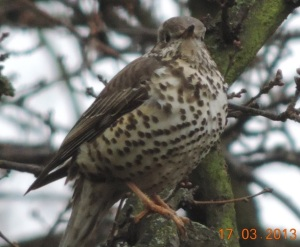 A song thrush on the White Lodge site. Fewer trees means few birds.